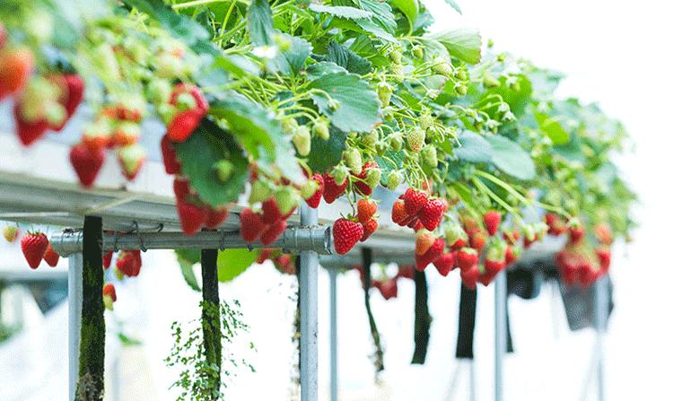دوره کشت هیدروپونیک توت فرنگی